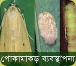 Rice Insect Management
